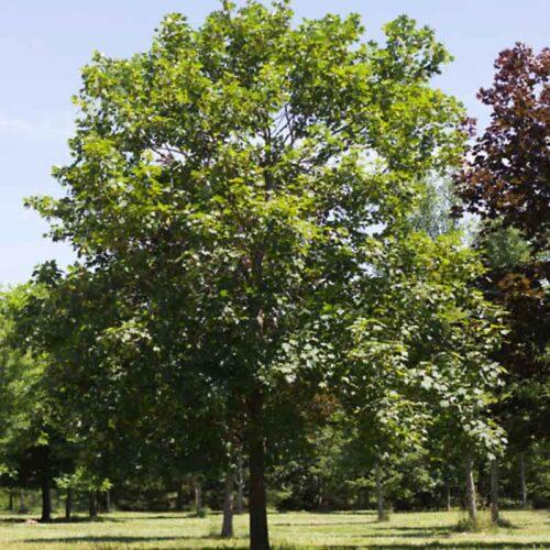 Acer Pseudoplatanus Swamp White Oak