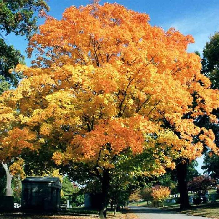 American Valley Forge Elm Fall