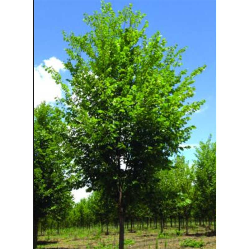 American Valley Forge Elm