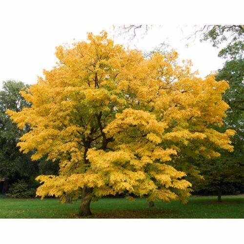 American Yellowwood Fall