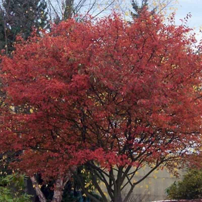 Autumn Brilliance Serviceberry Fall