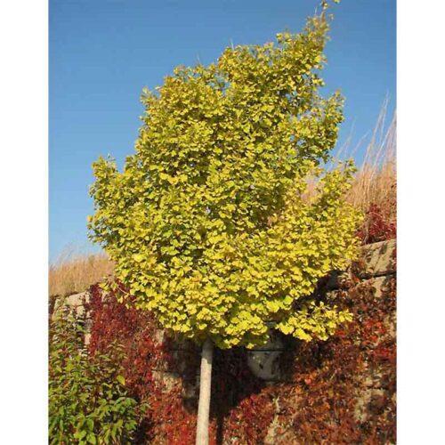 Autumn Gold Ginkgo Biloba Tree