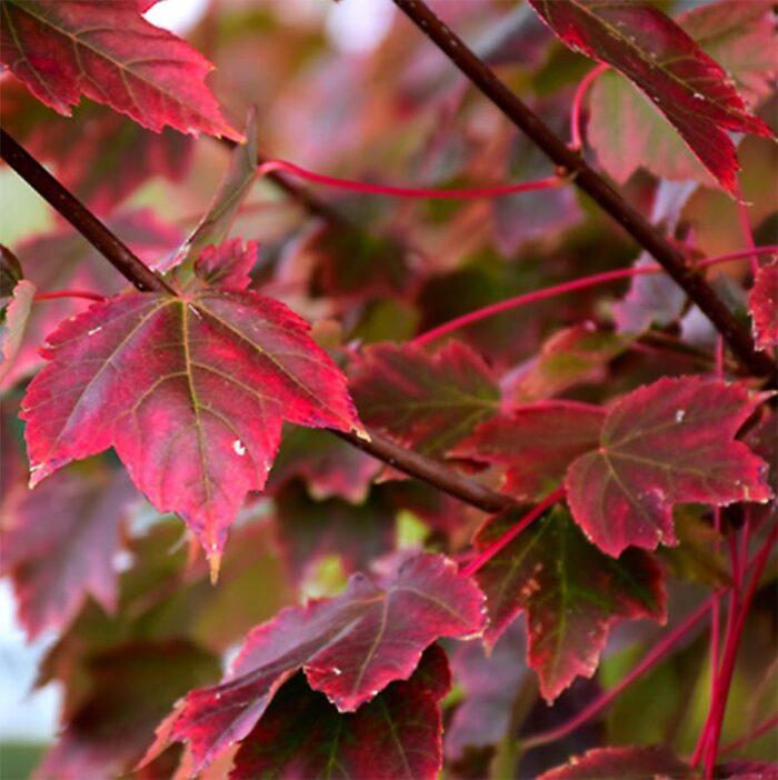 Brandywine Red Maple