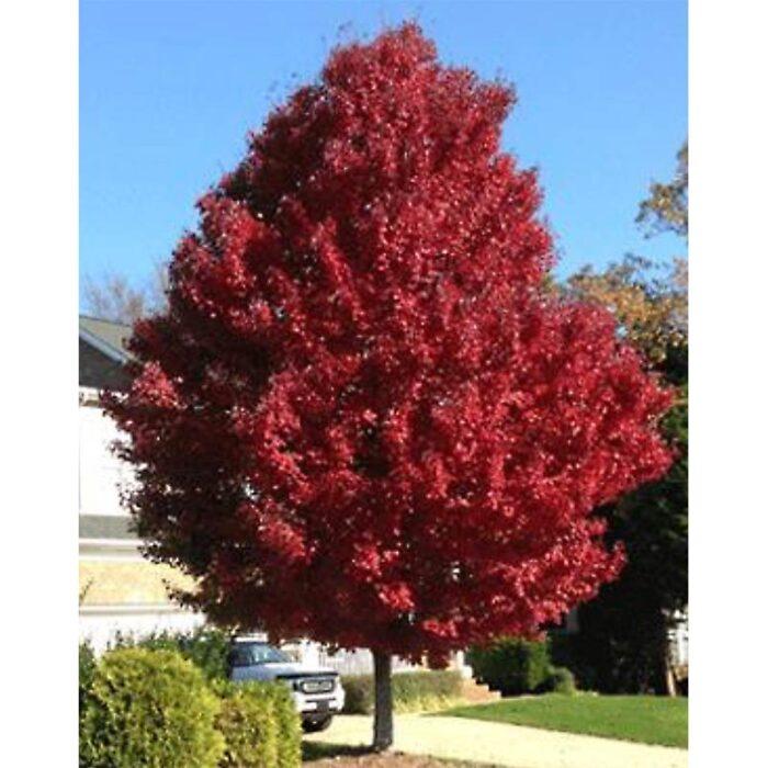 Brandywine Red Maple Tree