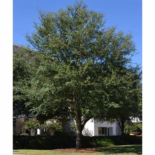 Cathedral Live Oak