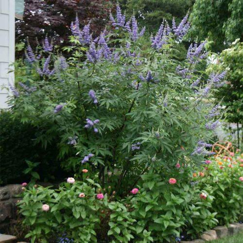 Chaste Tree My Garden