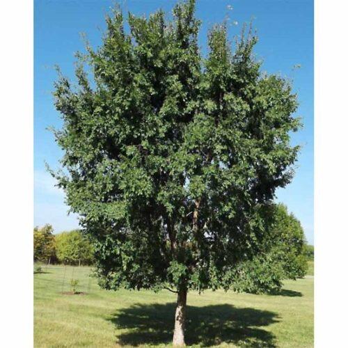 Chinese Lacebark Dynasty Elm