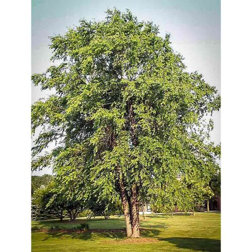 Dura Heat River Birch Mature Tree