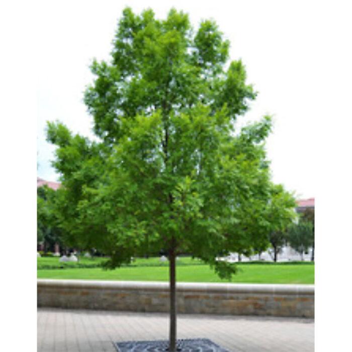Everclear Lacebark Elm