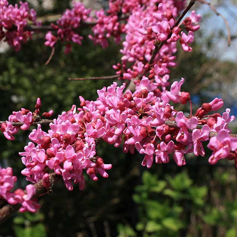 Forest Pansy Redbud Bloom