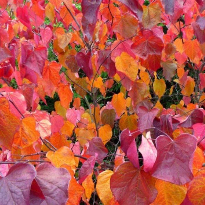 Forest Pansy Redbud Fall Foliage