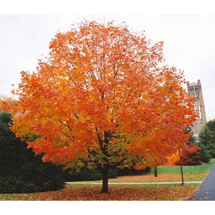 Green Mountain Sugar Maple Fall