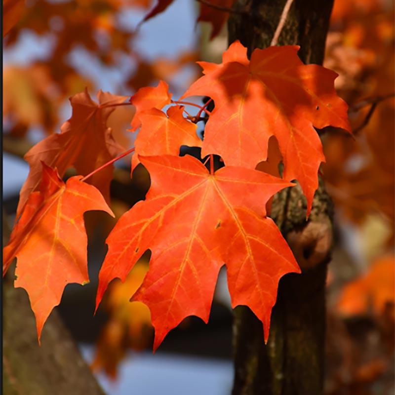 Green Mountain Sugar Maple Foliage