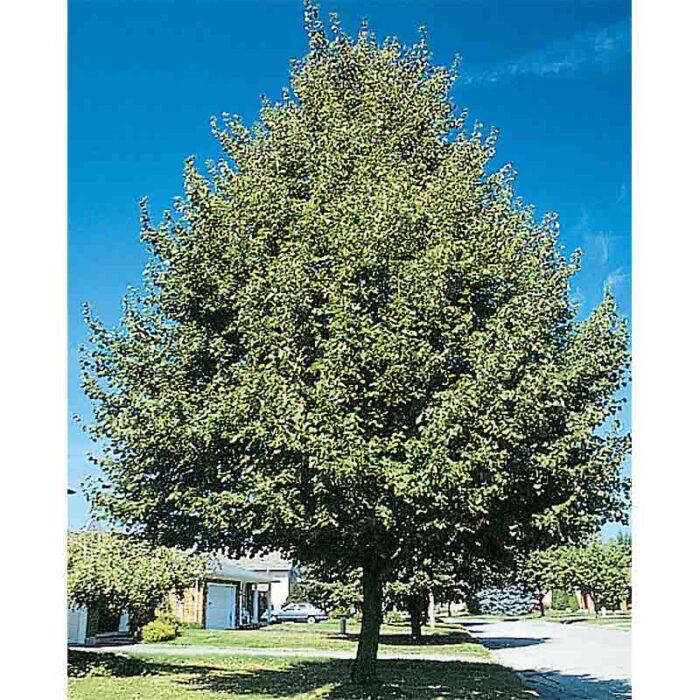 Greenspire Linden Tree