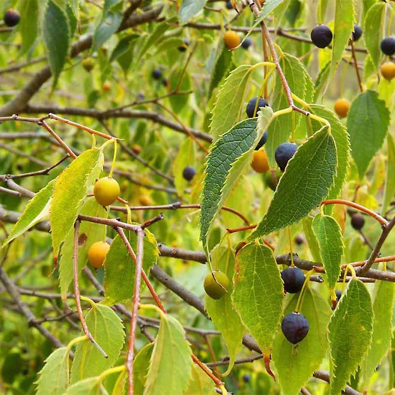 Hackberry Foliage Berries