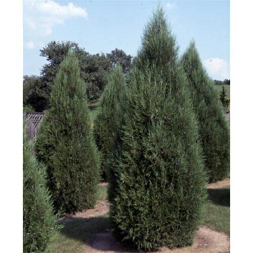 Juniperus Virginiana Idyllwild