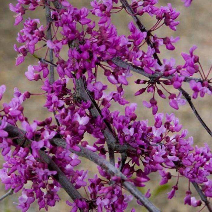 Lavender Twist Weeping Redbud Flowers