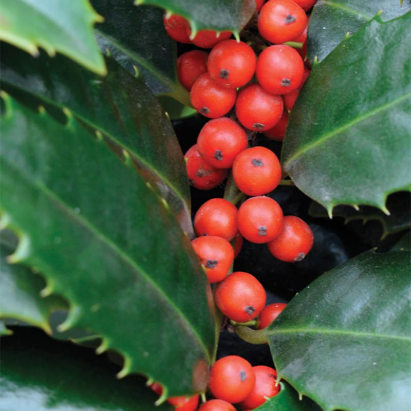 Mary Nell Holly Foliage Berries