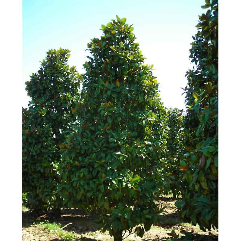Mary Nell Holly Large Shrub Tree