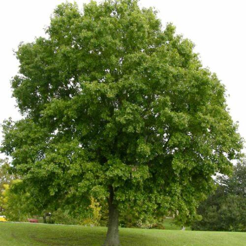 Nutall Oak Tree