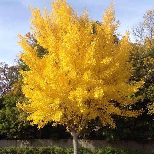 Presidential Gold Ginkgo Tree