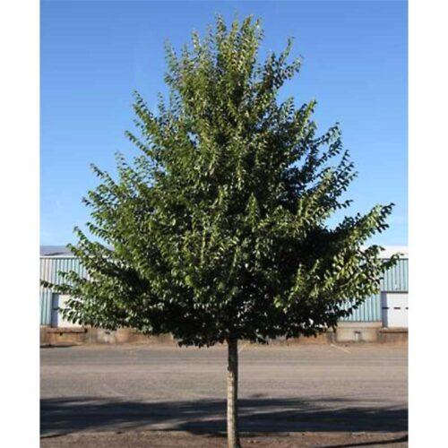 Princeton Elm Tree