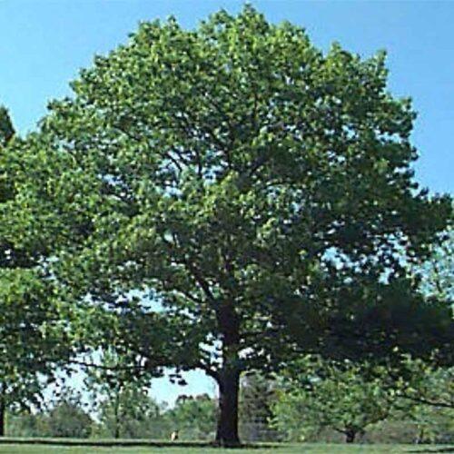 Red Oak Tree