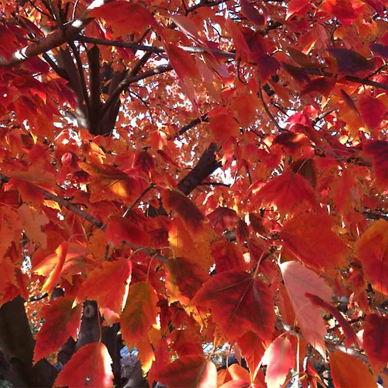 Red Sunset Red Maple Fall Foliage