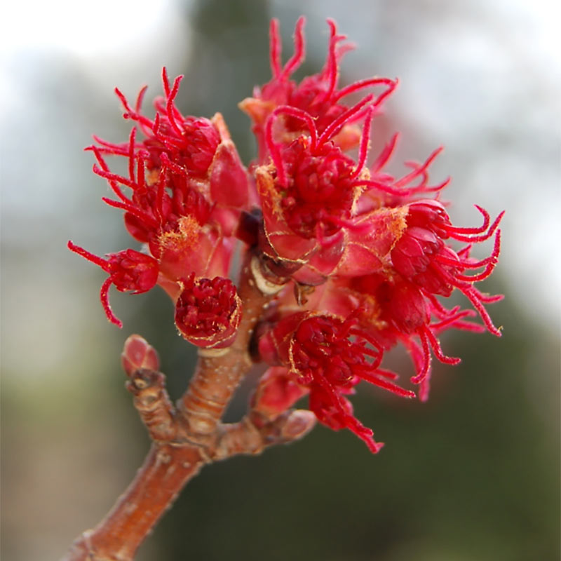 Red Sunset Red Maple Flower