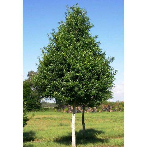 Savannah Holly Tree