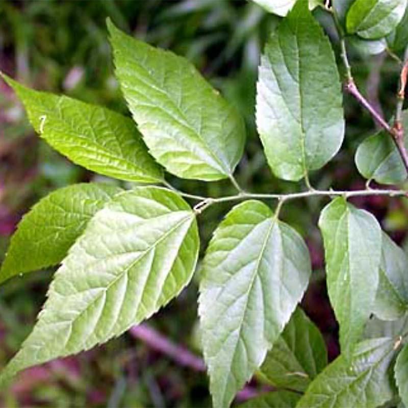 Southern Hackberry Foliage