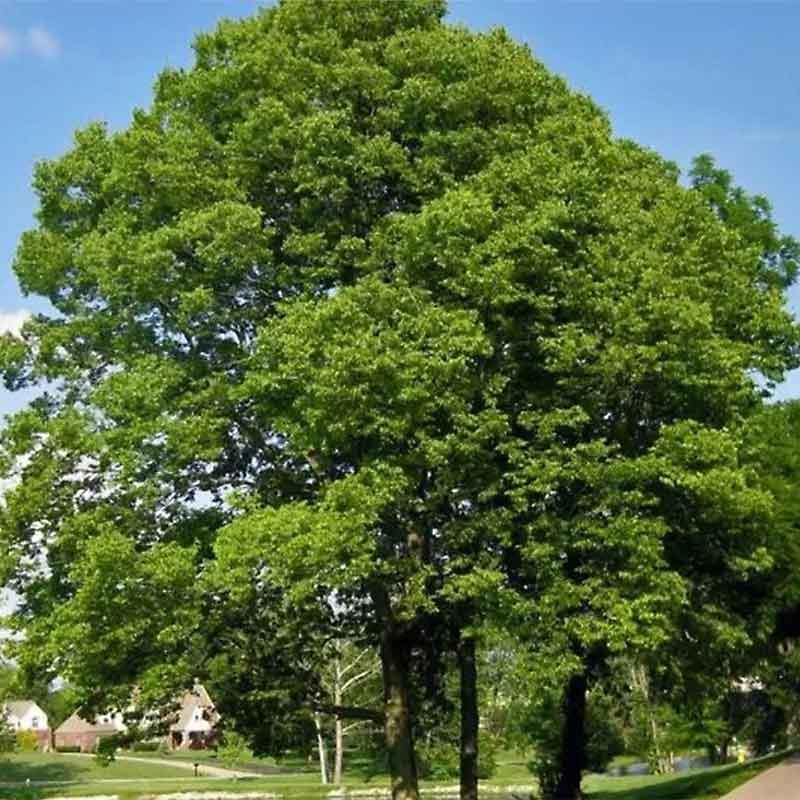 Southern Hackberry Tree