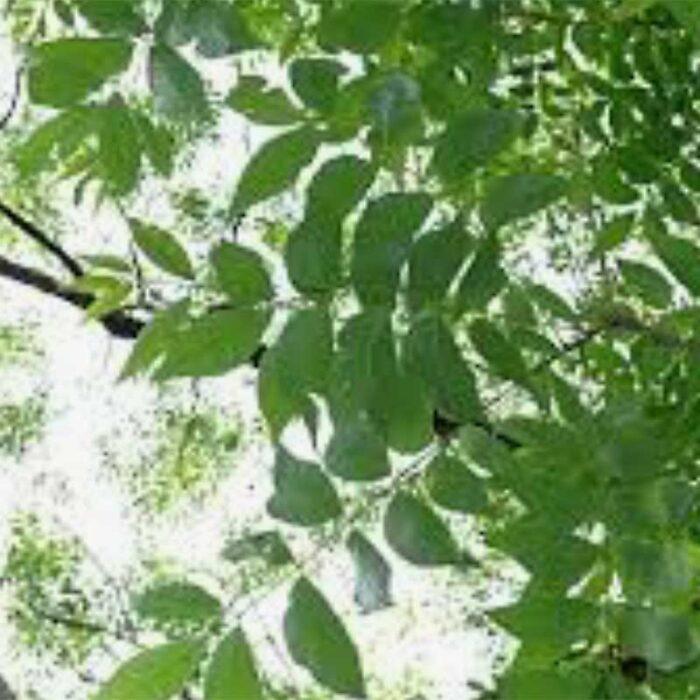 Sumner Pecan Foliage