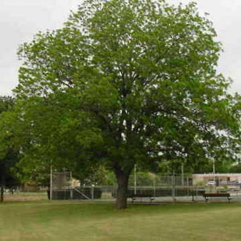 Sumner Pecan Tree