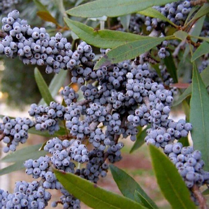 Wax Myrtle Berries