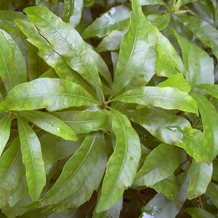 Wax Myrtle Foliage