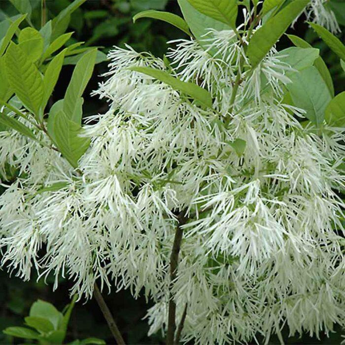 White Fringe Tree Flower