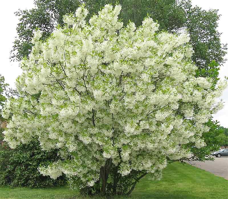 White Fringe Tree Multi Stem