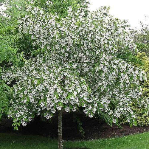 White Fringe Tree Single Stem