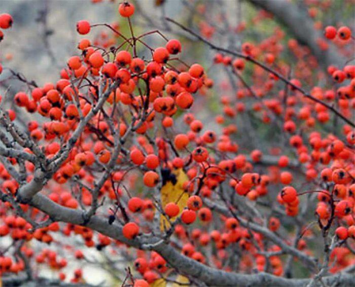 Winter King Hawthorne Berries