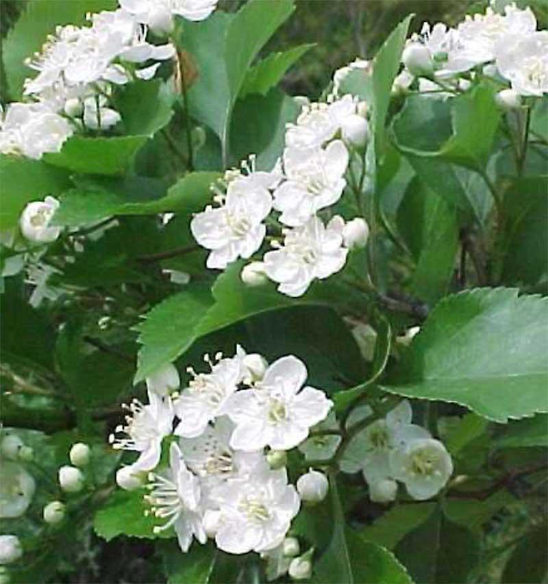 Winter King Hawthorne Flowers