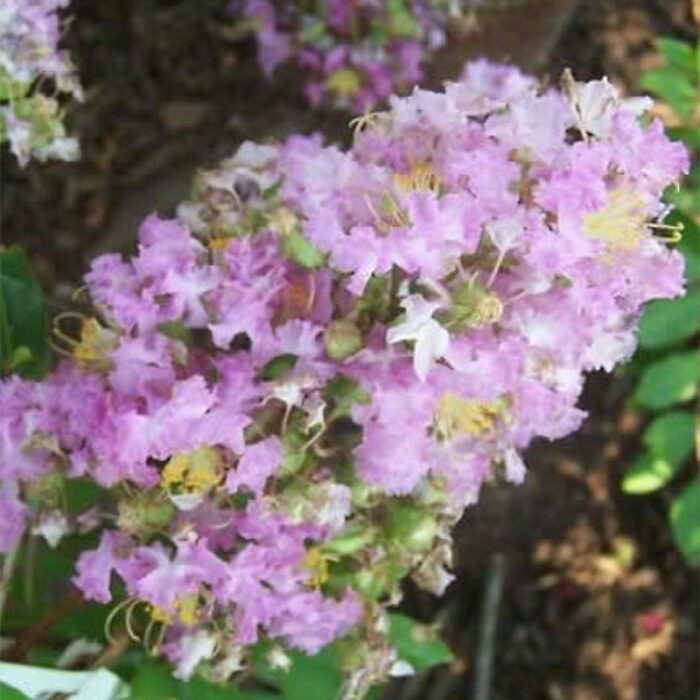 Zuni Crape Myrtle Blooms