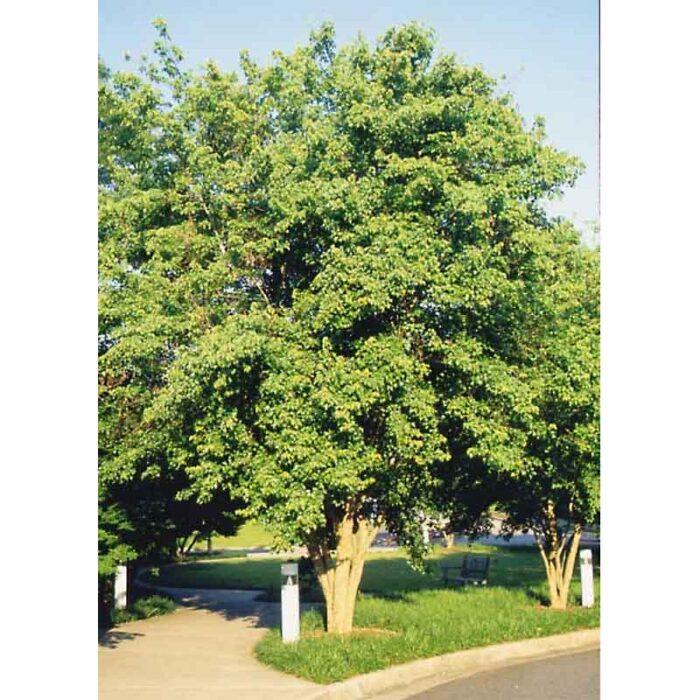 Acer Buergeranum Trident Maple 2