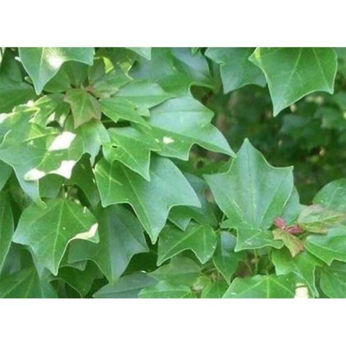 Acer Buergeranum Trident Maple 3
