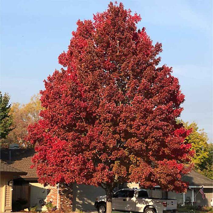 Acer Buergeranum Trident Maple