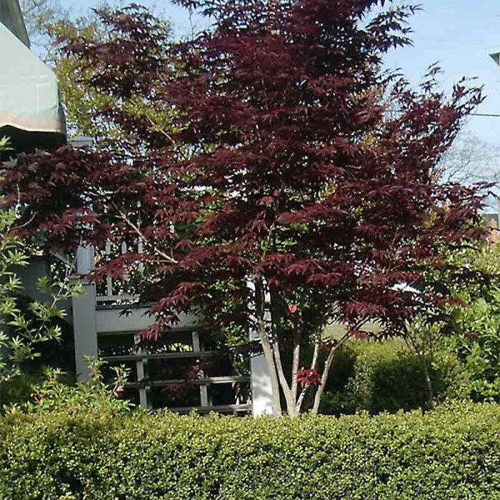 Acer Palmatum Bloodgood Japaneses Maple 4