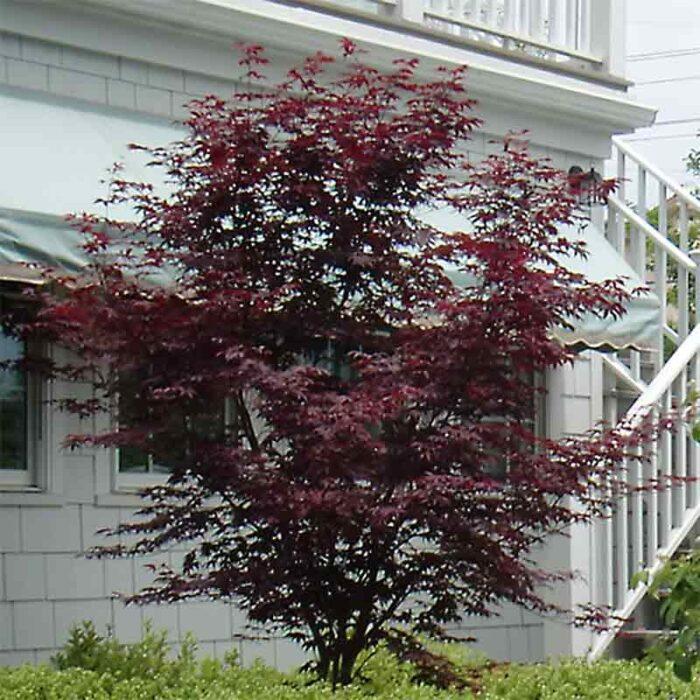 Acer Palmatum Bloodgood Japaneses Maple 5