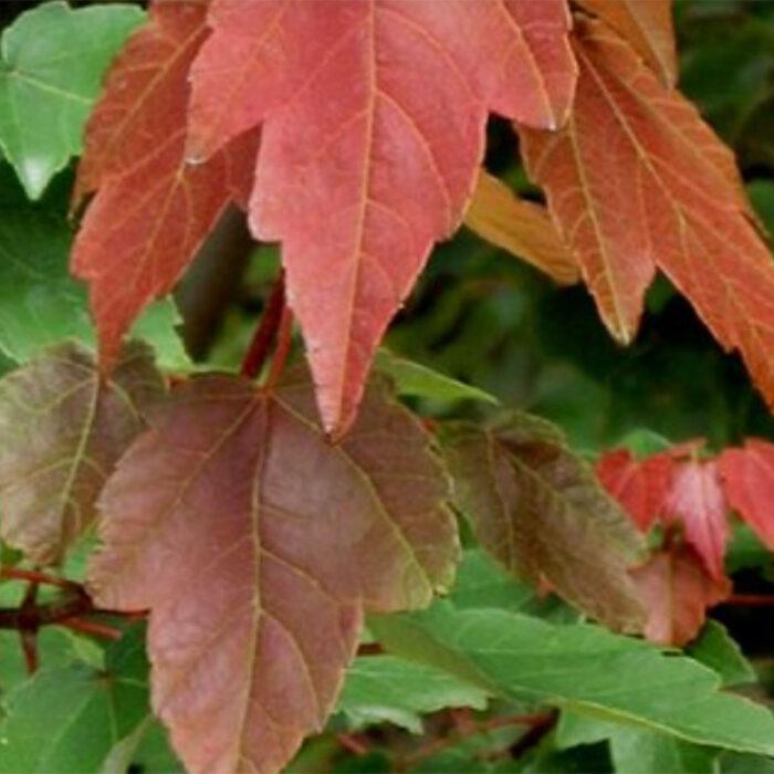 Acer Rubrum HOSR Summer Red Maple
