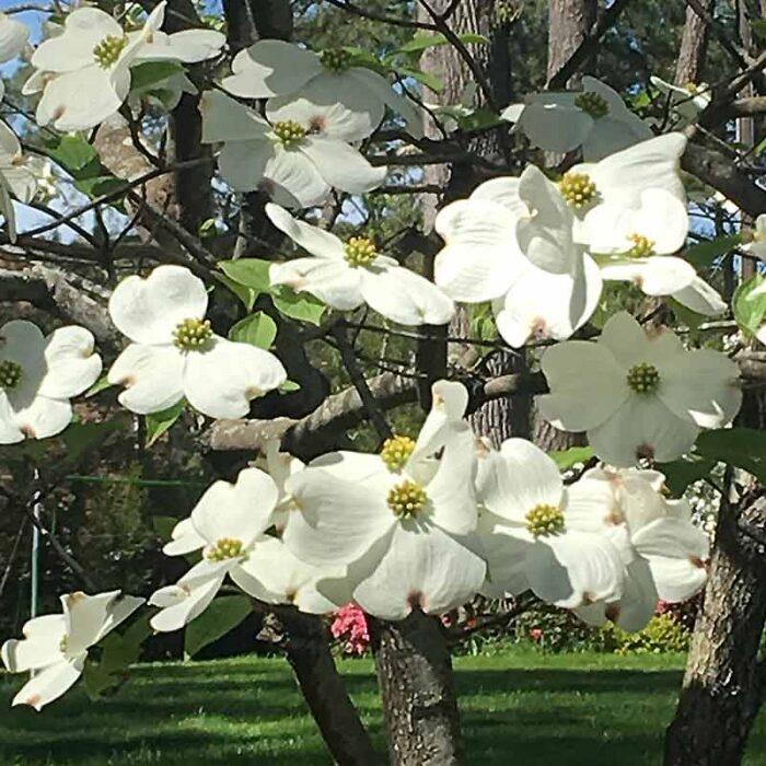 Cornus Hyperion Dogwood Tree