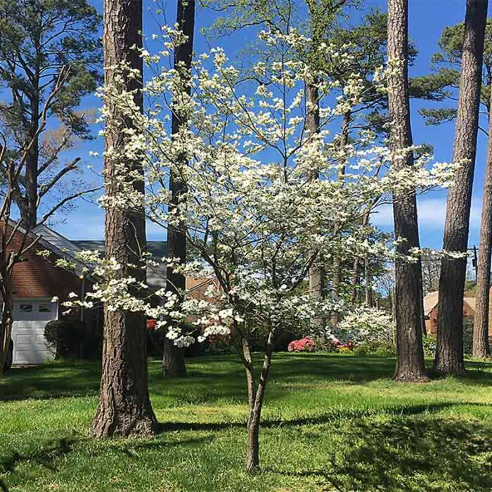 Dogwood Tree Cornus Hyperion